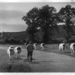 Herding Cattle Malcolm Colthart. Appin Police Station in background. Source- Robin Colthart